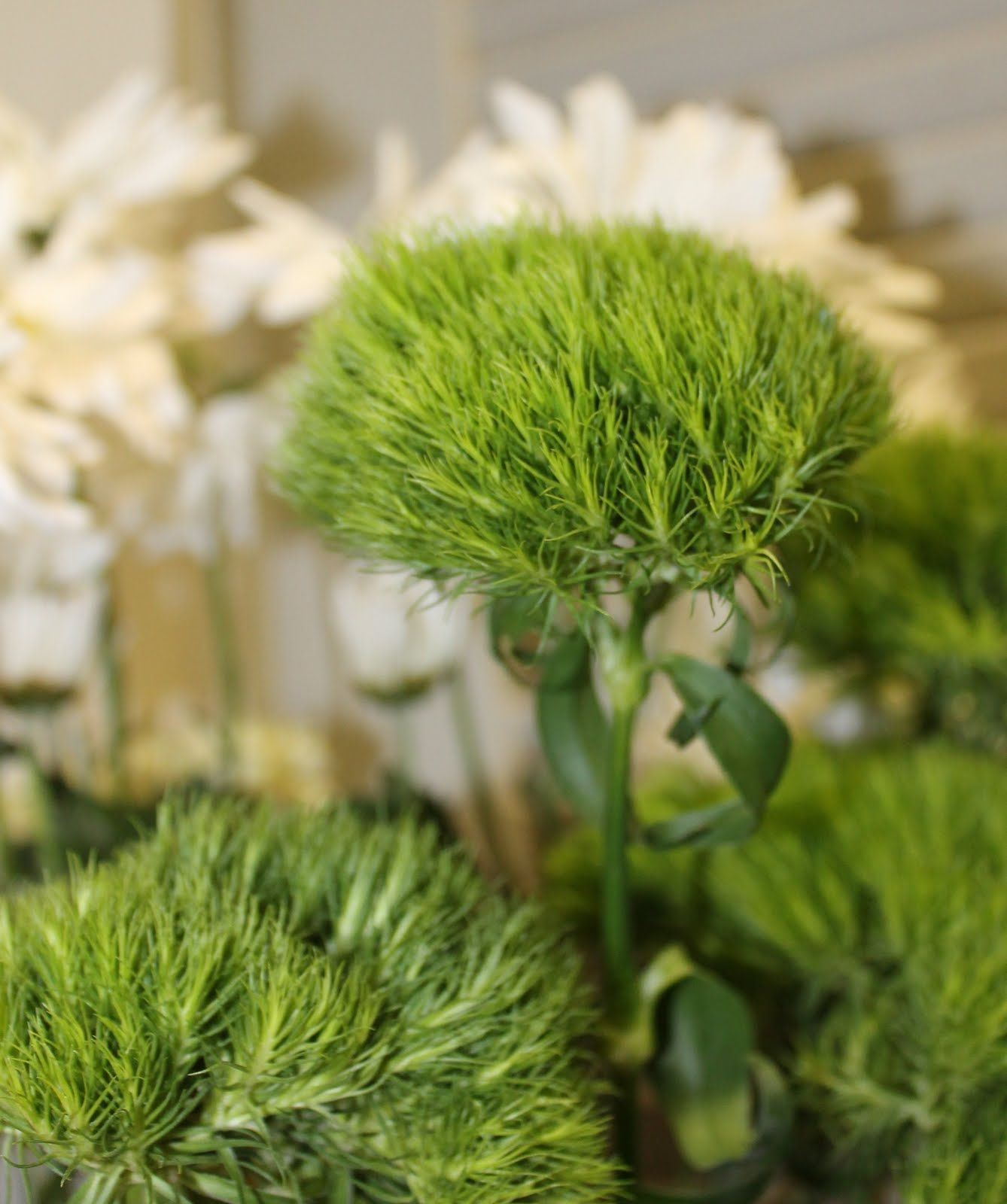 green trick dianthus year round green flowers