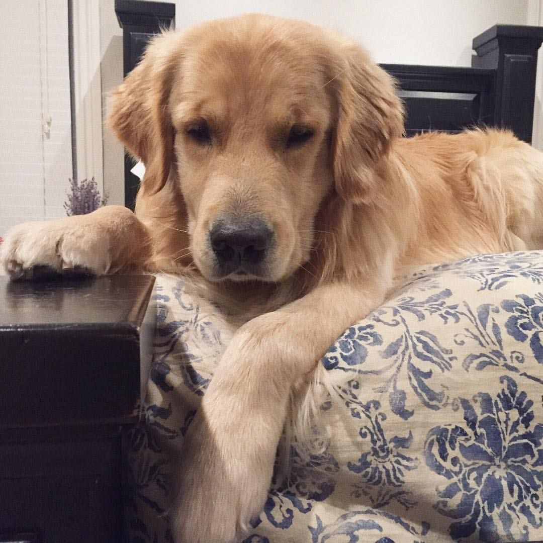 Teddy The Golden Pup Lifewithteddy On Instagram Who Wants To Snuggle Susse Tiere Hunde Tiere