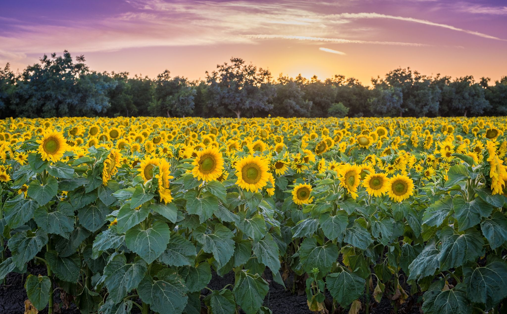 Sun Flower Field Dixon Ca Beautiful Sunflower Field In Dixon Ca