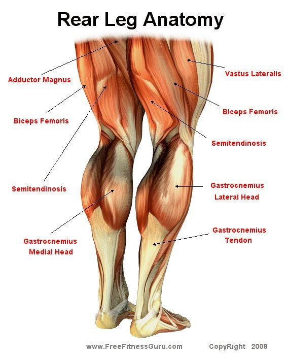 Rear Leg Anatomy | Anatomy | Pinterest | Anatomía, Cuadriceps ...