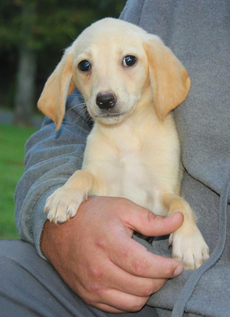Mya Is An 11 Week Old Yellow Lab Beagle Mix Puppy Check Out Those