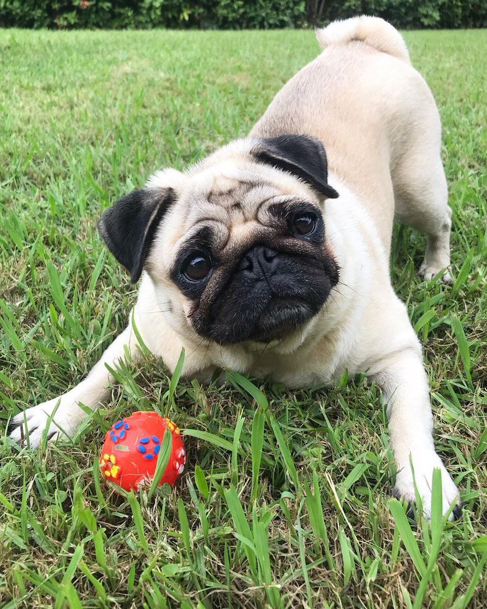 The Pug An Adaptable And Friendly Compact Breed Pugs For