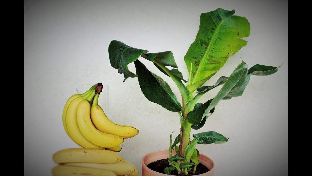 Pianta Di Banana Foto come fare nascere una pianta di banano dal frutto a costo