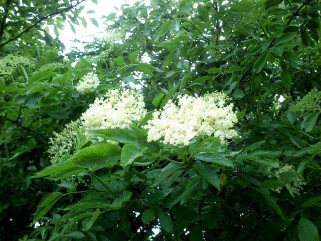 Syrop Z Kwiatow Czarnego Bzu Herbs Plants