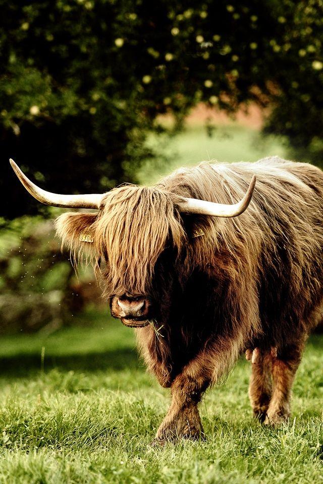 The Yak Siberia Animal wallpaper, Cow wallpaper, Cow
