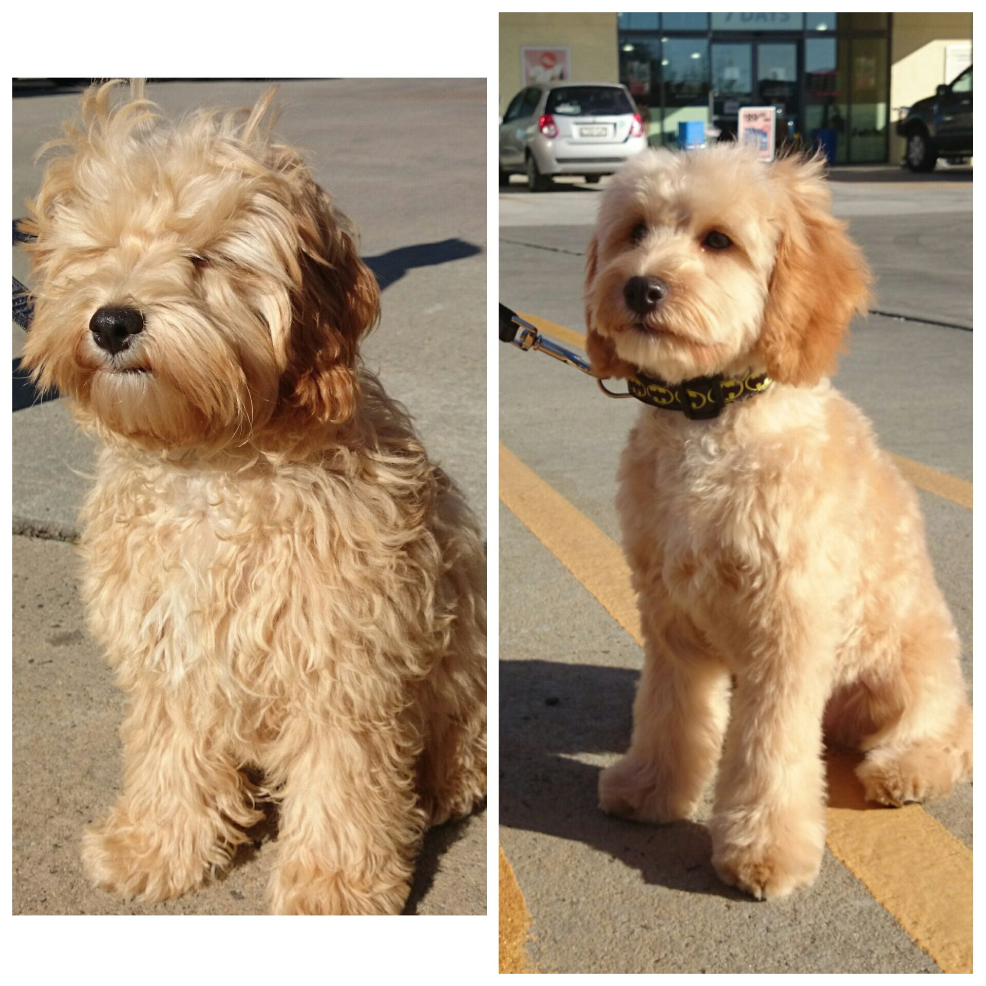 Before And After For This Canberra Spoodle Dog Chiens