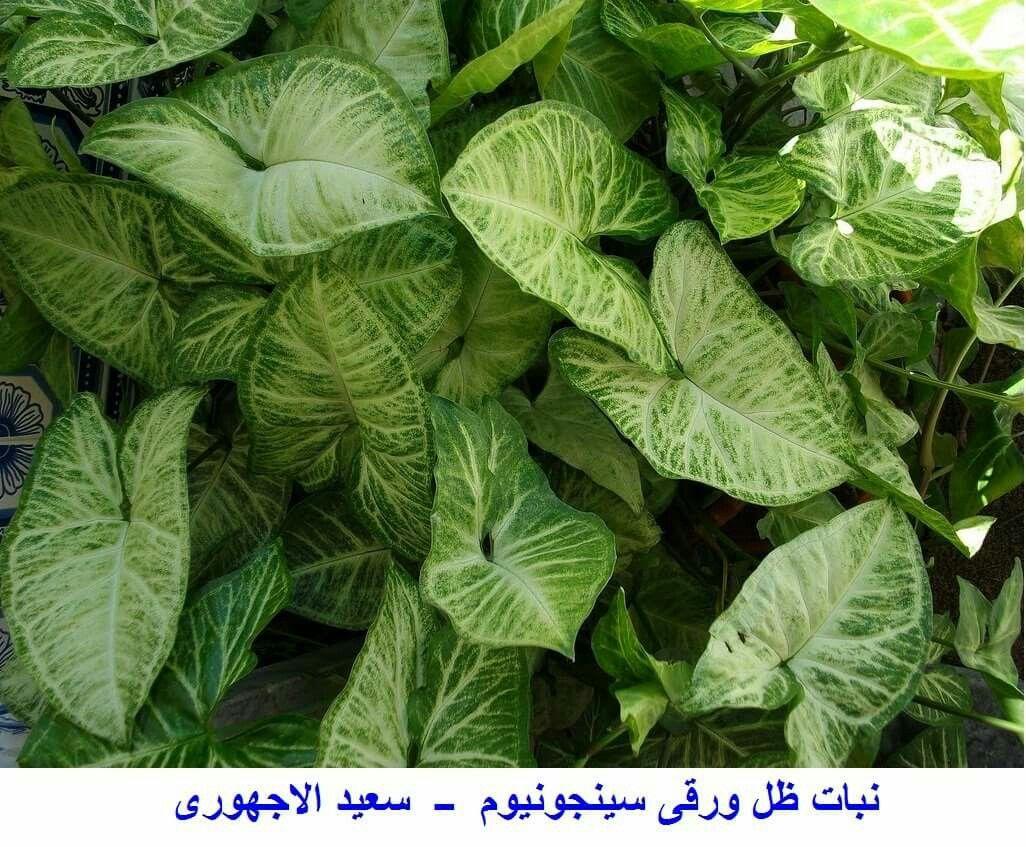 نبات سينجونيوم ــ يستخدم للتزين الداخلى بالمنزل لجمال المجموع الخضرى والنبات متسلق سريع النمو الاوراق كبيرة قلبية كبيرة الح Plant Leaves Plants Garden Plants