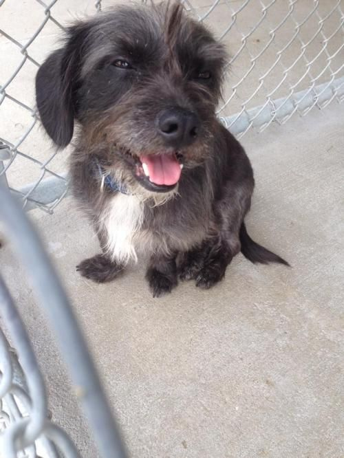 stray is an adoptable Terrier Dog in Cadillac, MI This little guy was found in Cadillac with a collar on.  If you know of his owner please inform ... ...Read more about me on @Petfinder.com.com