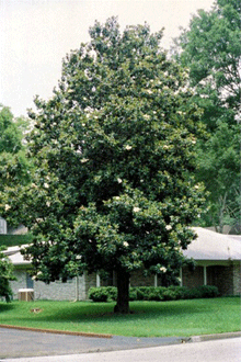 Southern Magnolia Spaces Plants For Yard Magnolia Trees Fast