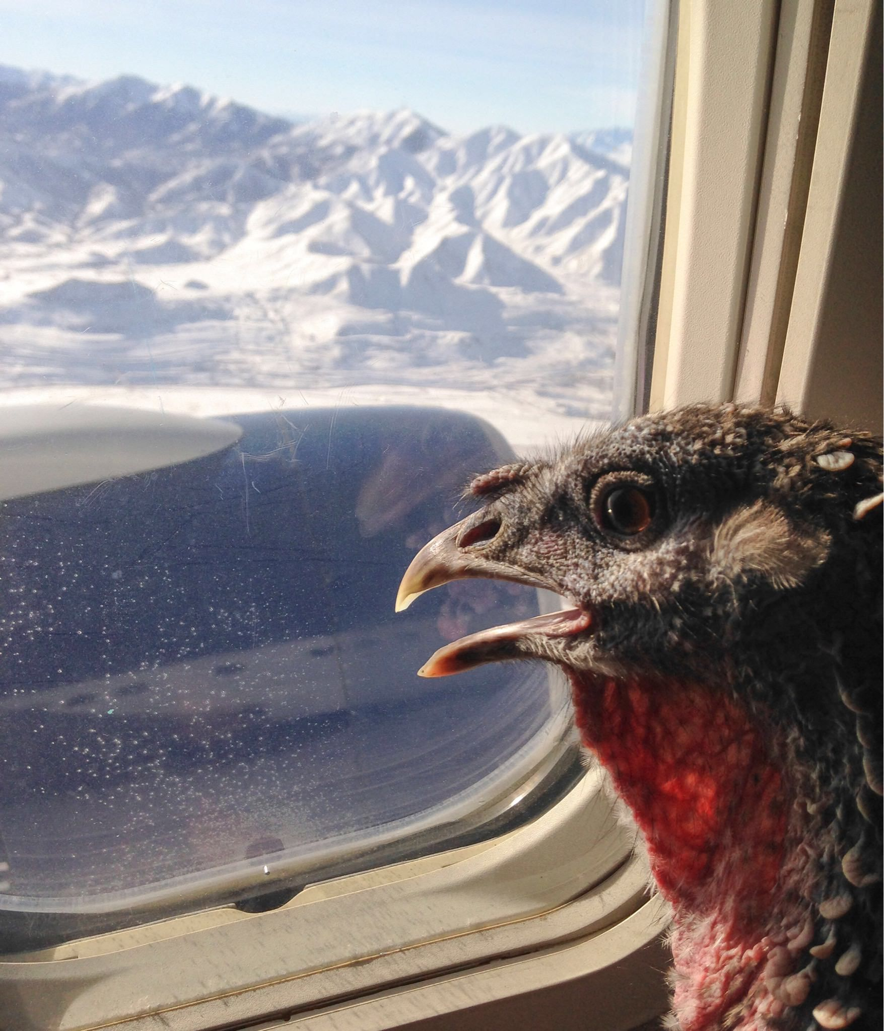 PsBattle Emotional support turkey looking out the