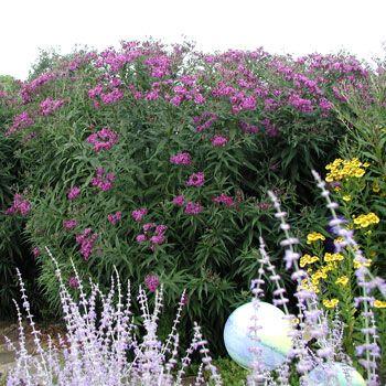 Prächtig Vernonia crinita - Vernonie :: Mit Stauden gestalten #YU_83