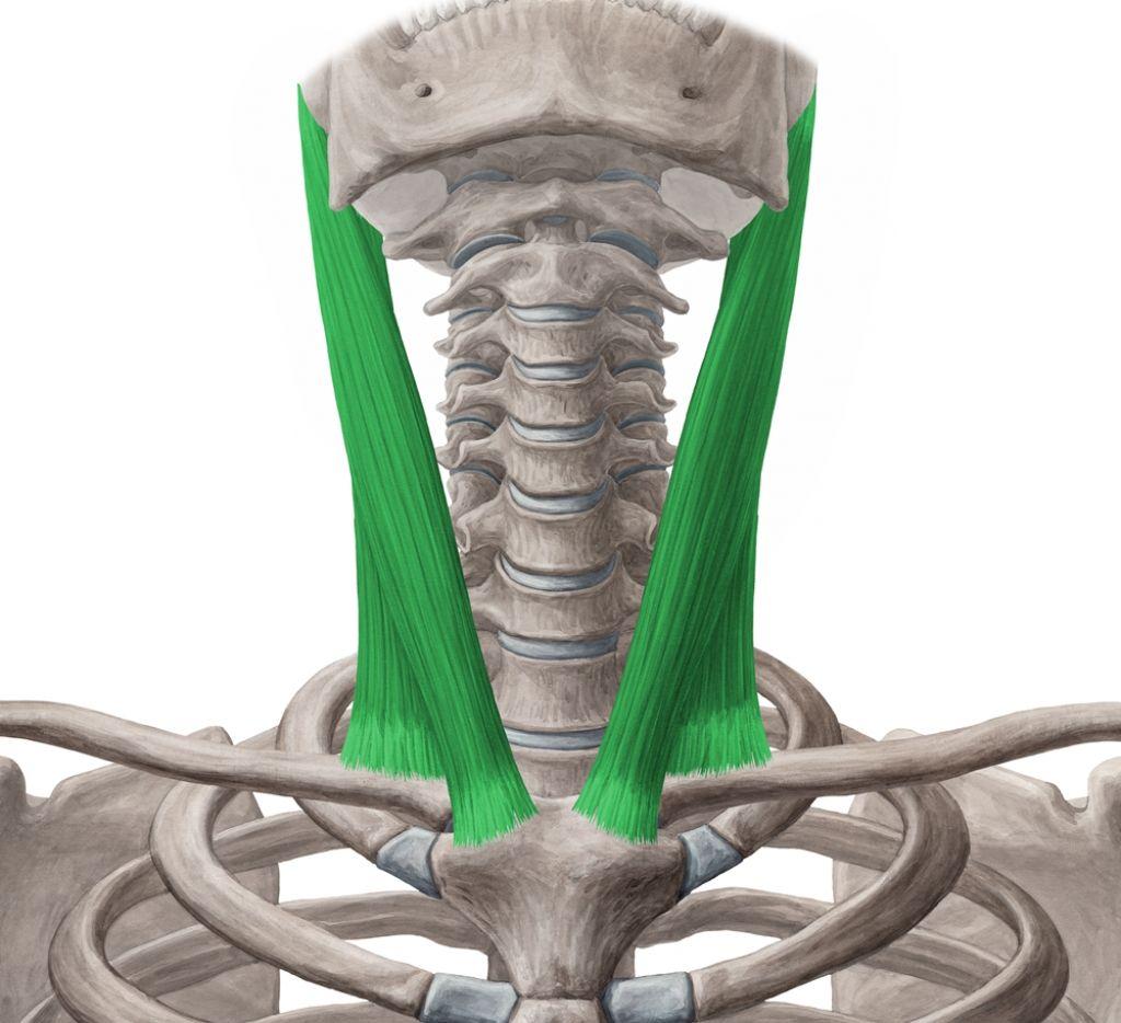 Sternocleidomastoid Muscle | τραχηλος | Pinterest ...