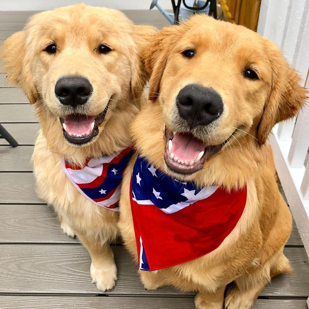 Patriotic Golden Retrievers With Images Golden Retriever