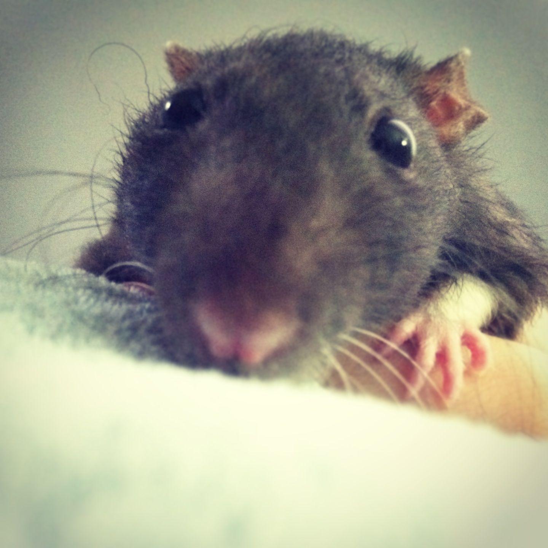 фото прикольных крыс находились остановка извозчиков