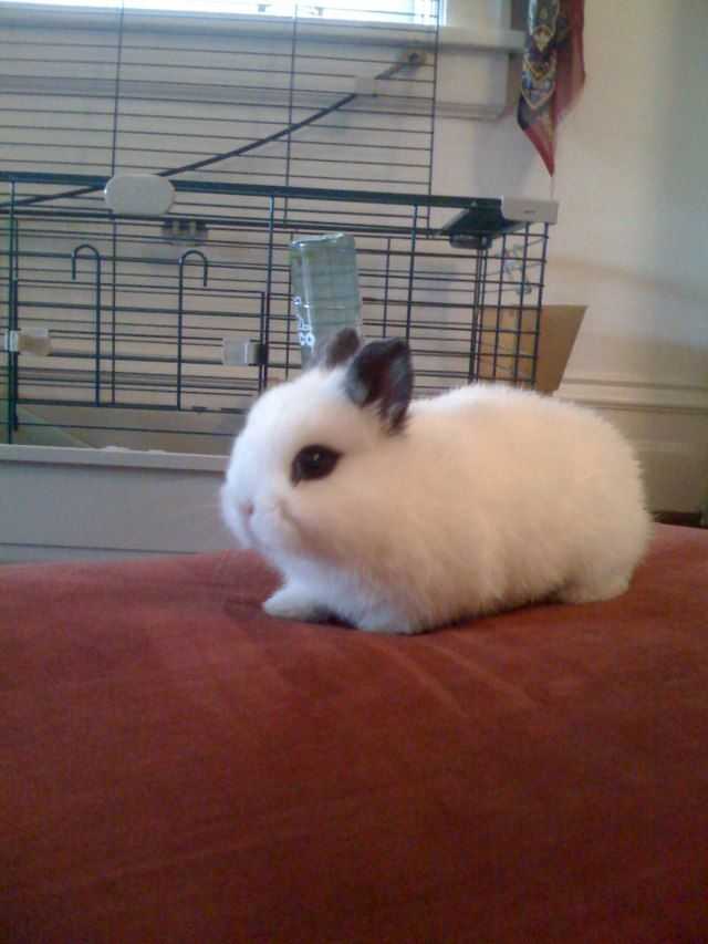 21 Dwarf Hotot Bunny Rabbits For Sale In East Concord New Hampshire Cuccioli Di Coniglio Coniglietti E Coniglio