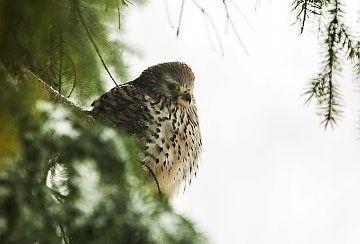 Rovfugl I Et Grantrae Rovfugle Billede