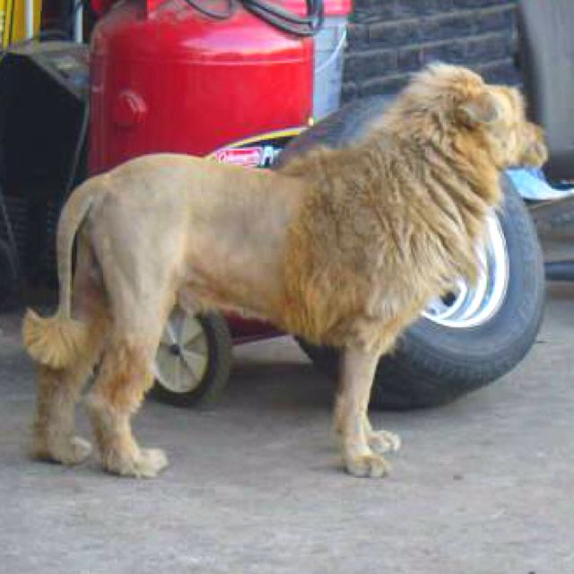 This Guy Shaved His Dog To Look Like A Lion For Security