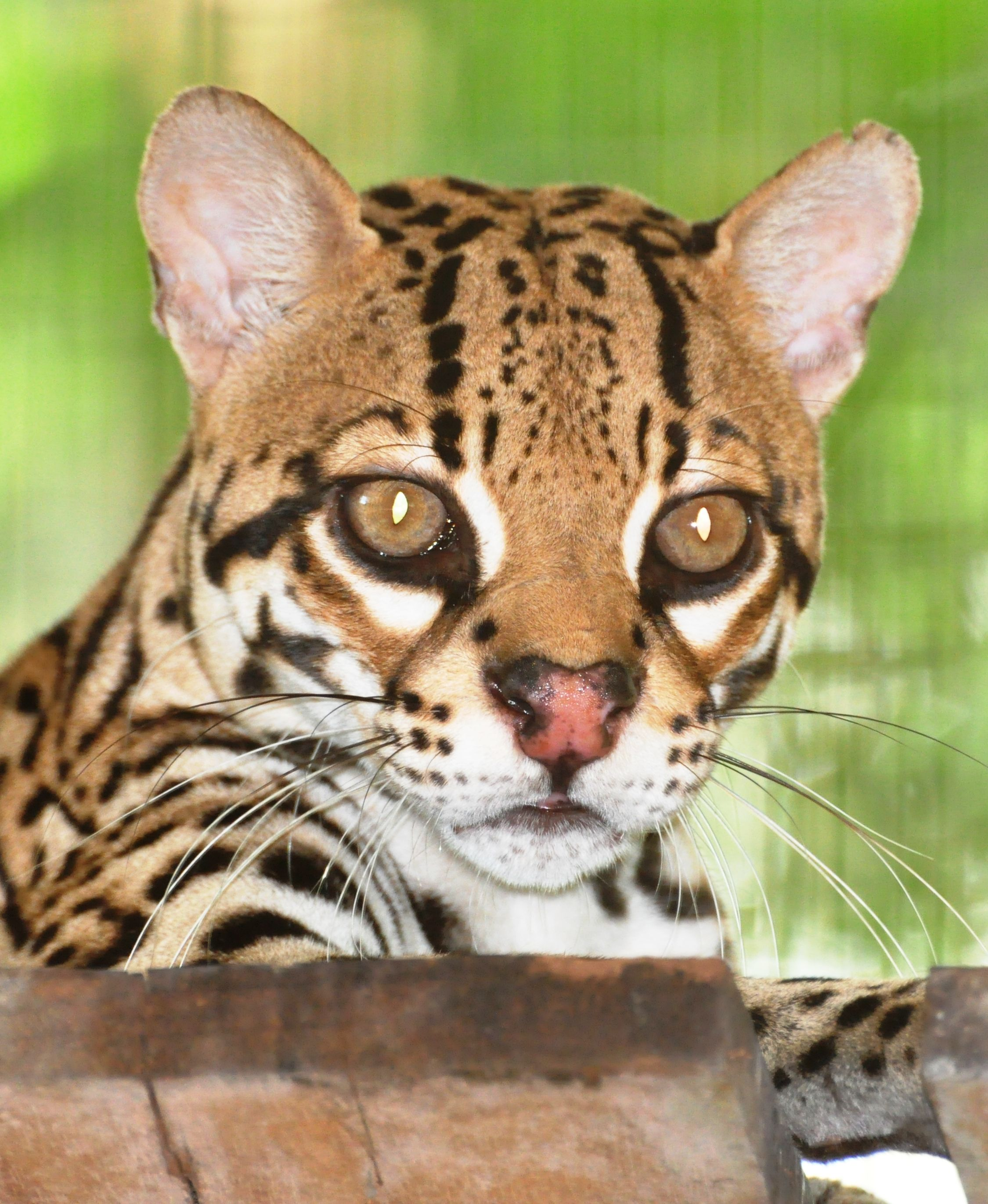 Ocelot in the Amazon Rainforest Wild cats