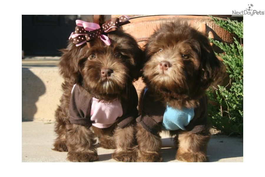 Havanese Puppy For Sale Near Little Rock Arkansas 10d6427f 01e1