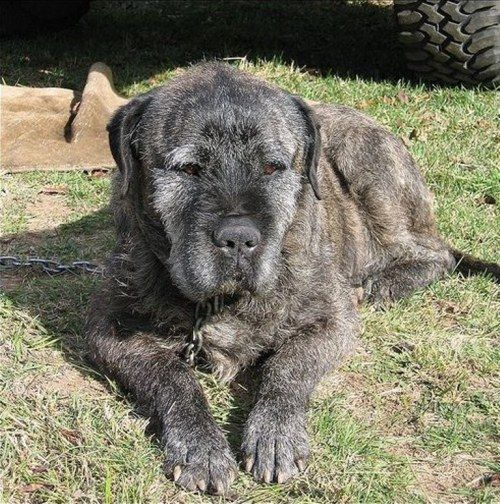 Irish Wolfhound Mastiff Mix Mastiff Mix Irish Wolfhound Irish