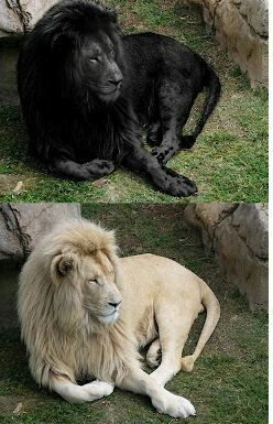 Photoshop Lions Black Lions Only Exist In A Person S Mind There Aren T Any Black Lions Who Truly Exist Black Lion Lion Pictures Black And White Lion