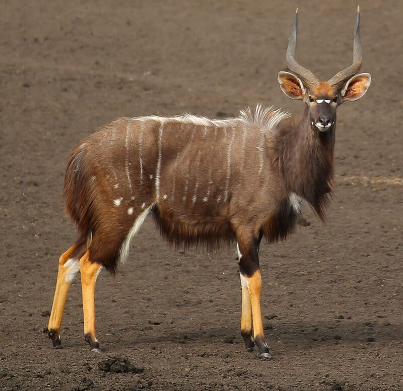 Nyala animals that start with n for kids Wild animals
