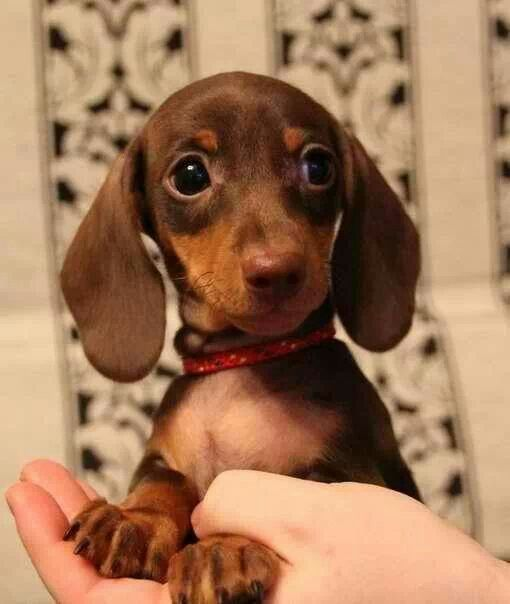 Sweetie Love This 3 Dachshund Puppies Wiener Dog Cute Dogs