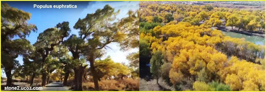شجرة الحور الفراتي فوائد واستخدام Populus Euphratica النباتات النبات معلومان عامه معلوماتية Plants Outdoor Farmland