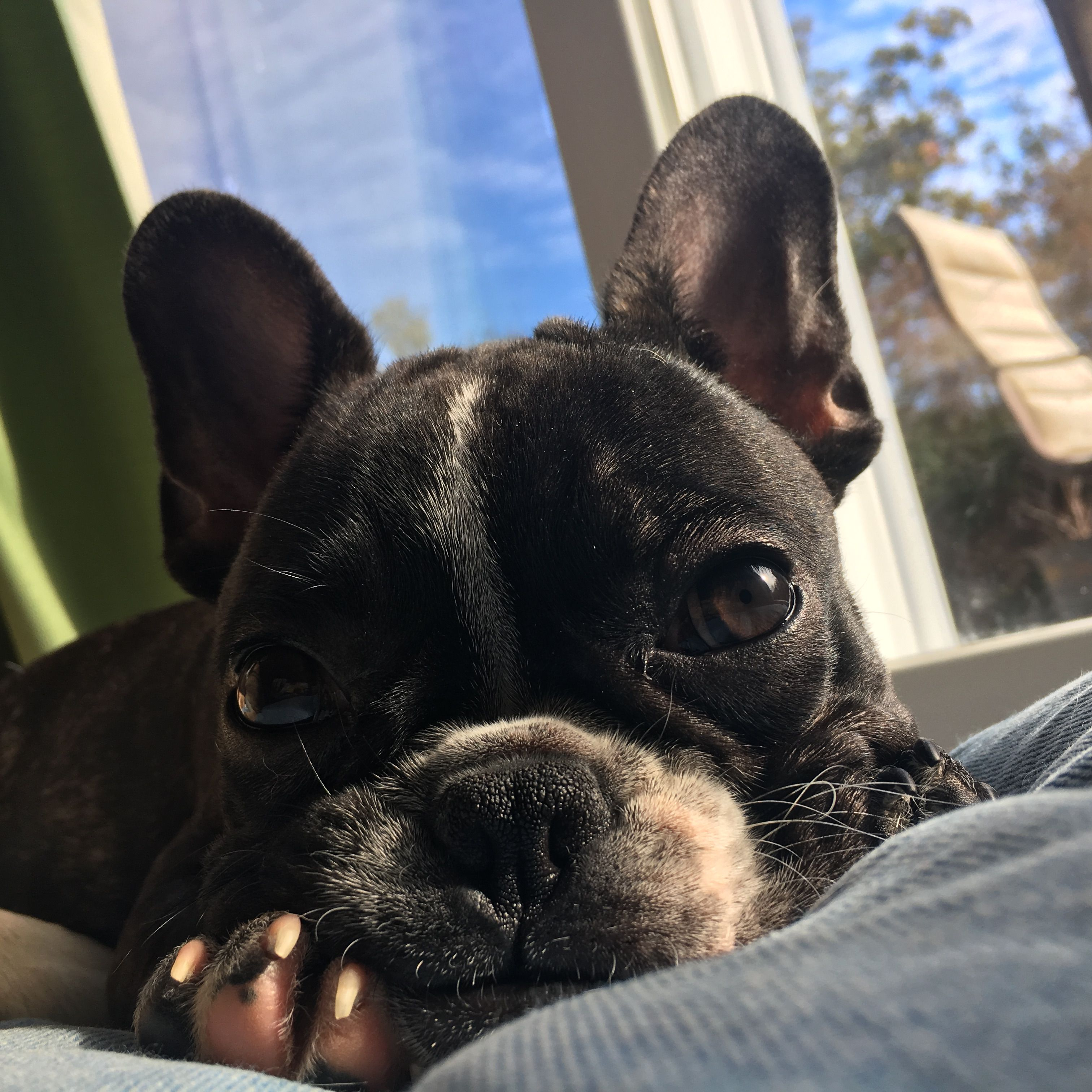 French bulldog her names oma caaaute pinterest french bulldogs