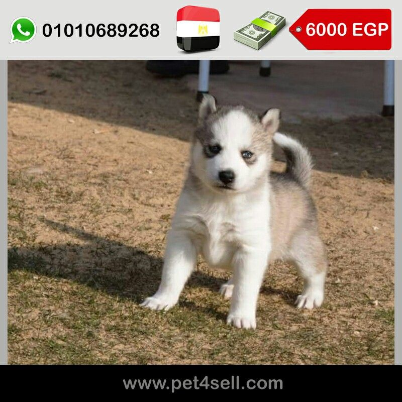 Egypt Cairo Top Breed Husky Puppies 45 Days Blue Eyes Unique Colors Photos Of The Mom And Dad Are Available Upon Request O Husky Puppy Husky Puppies