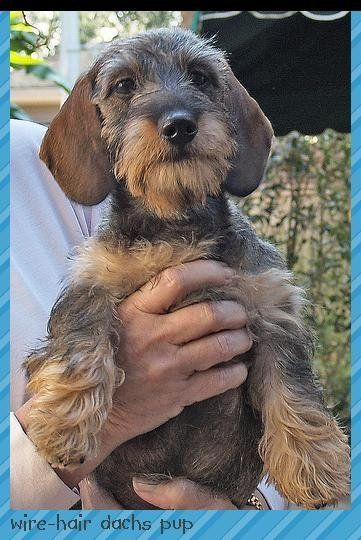 A Wirehaired Dachshund Like Our Mr Budro Ruwharige Teckel