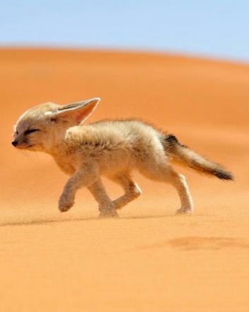 Cute Desert Fox | www.freeshareimages.com