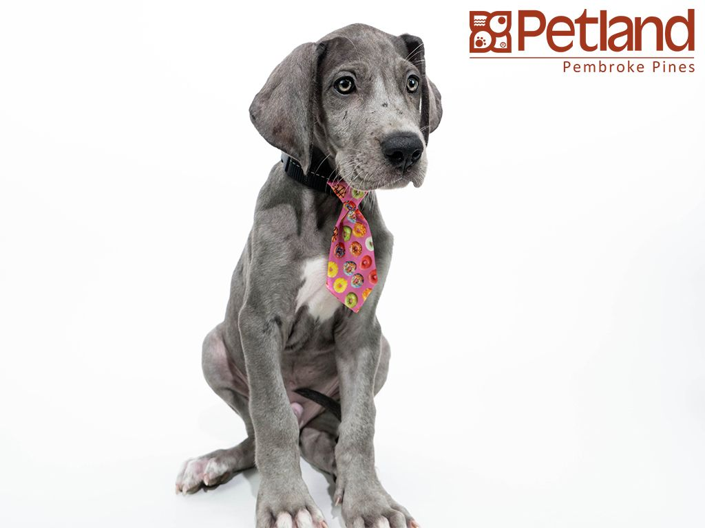 Petland Florida Has Great Dane Puppies For Sale Check Out All Our