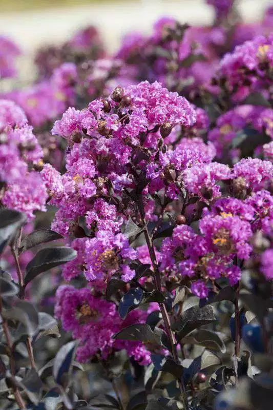 New Crapemyrtle Introductions Crape Myrtle Black Diamond Southern Garden