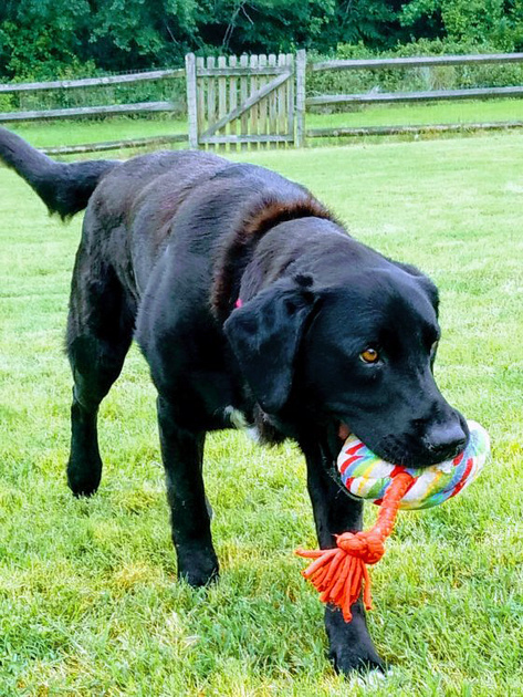 Saul Is No Oddball Just A Friendly Labrador Retriever Mix This Eight To Nine Year Old Fellow Was Picked Labrador Retriever Mix Labrador Retriever Labrador
