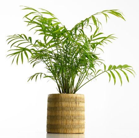 areca palm dypsis lutescens benefit cleans the air light direct best office - Office Plants