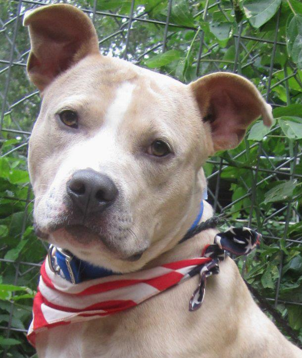 Corduroy Male Adoption Pending Pitbull Rescue Beautiful Dogs Animals