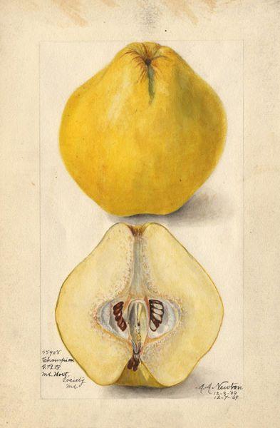 illustration : fruits, coing, jaune
