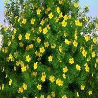 Beautiful compact bush Potentilla Goldfinger MiCasa