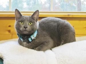 Diamond The Cat On Allpaws Com Cat Adoption Cats Russian Blue