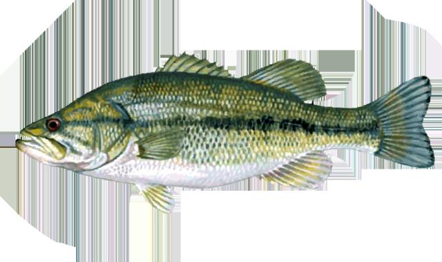 Great Clip Art Of Freshwater Fish Fish Fish Painting Fish Illustration
