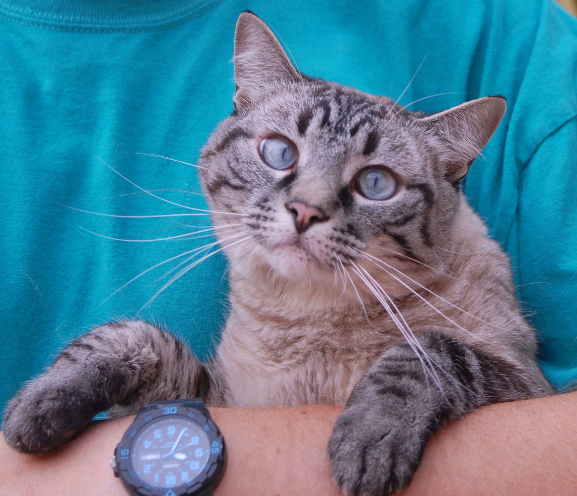 Lee needs someone to love. He is a handsome lynx point