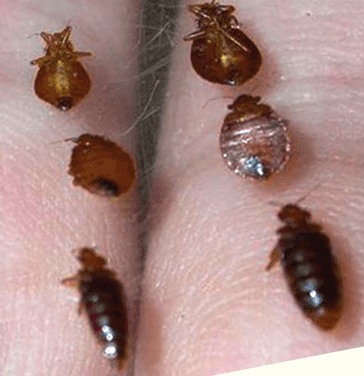 How Big Are Bed Bugs Pictures And Size Chart Get Rid