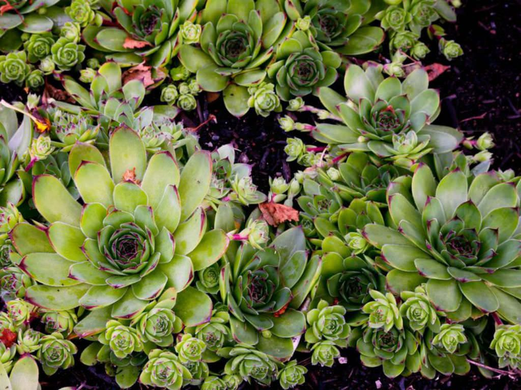 How to Grow and Care for a Common Houseleek (Sempervivum ... How To Grow Plants Houseleek on lady's mantle plant, thyme plant, perennial plant, gold flower plant, scilla violacea plant, lemon verbena plant, daffodil plant, goat's beard plant, catmint plant, bottling plant, poppy plant, hyssop plant, birch plant, hops plant, lemon balm plant, sage plant, holly plant, yarrow plant, hellebore plant,