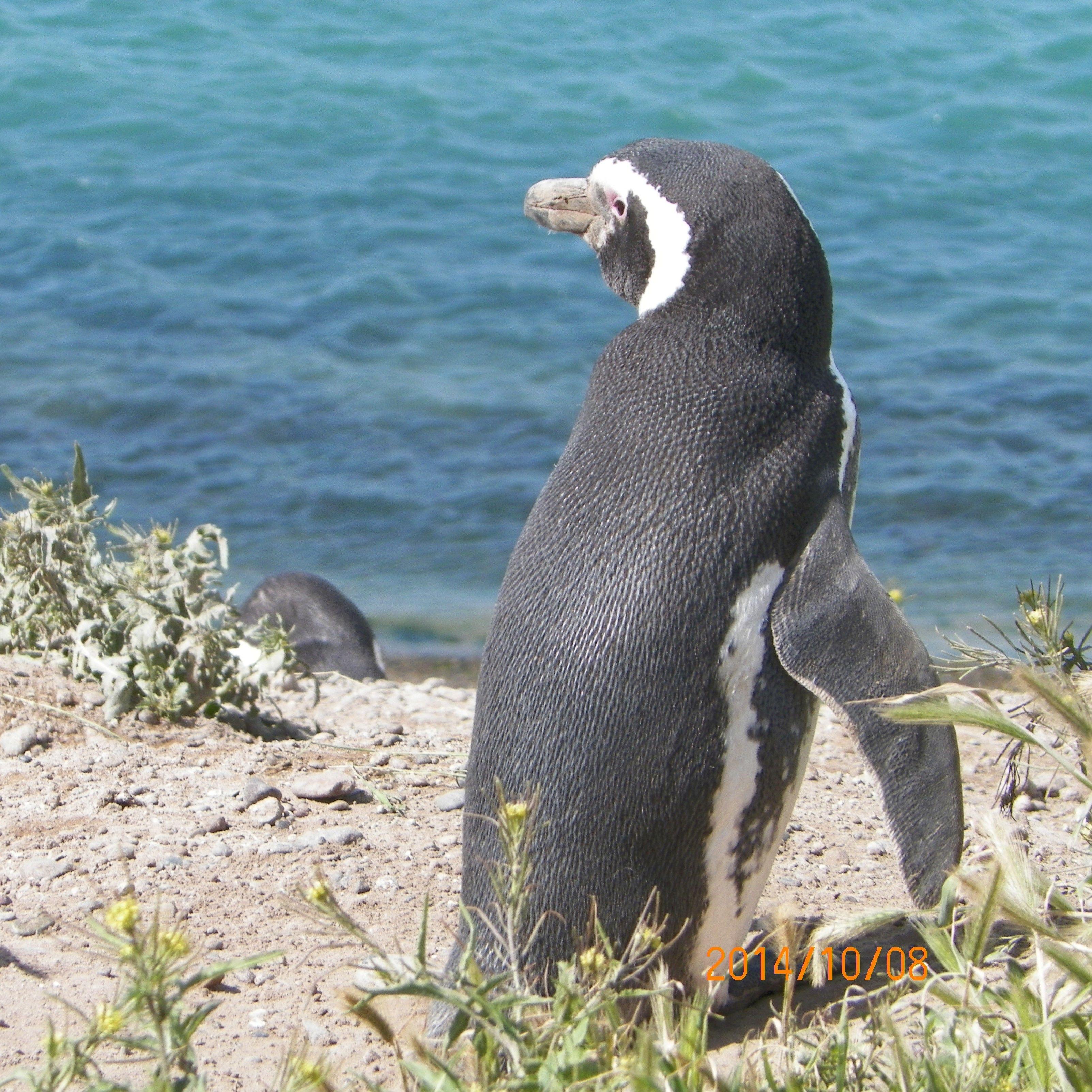 Penguin - Patagonia