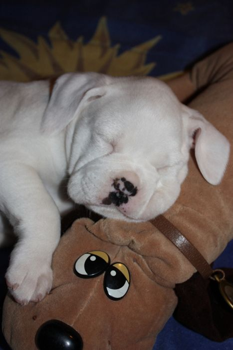 Boxer puppy with a pound puppy. #honkshu