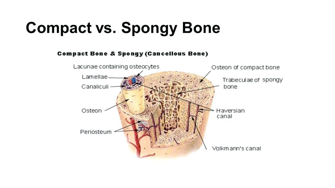 compact bone diagram compact bone diagram spongy bone diagram anatomy body diagram [ 1280 x 720 Pixel ]