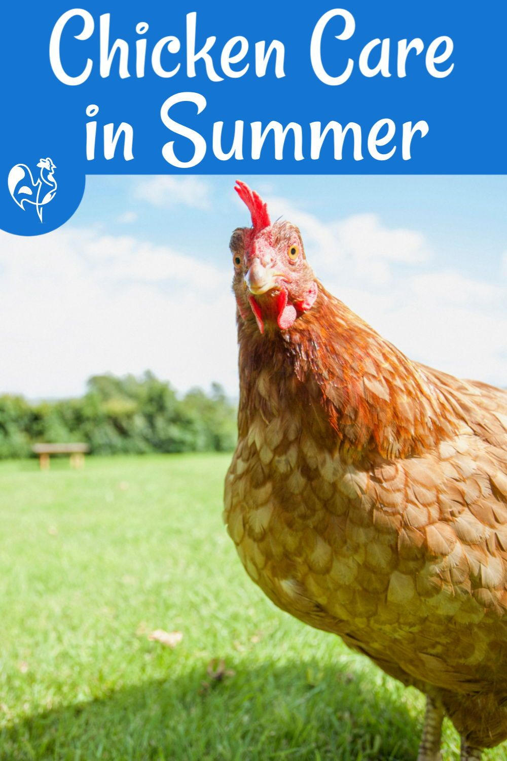 Chicken care in the summer months. in 2020 | Chickens ...