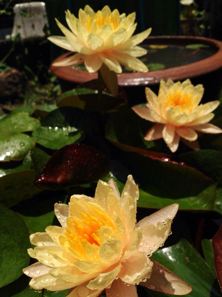 Beautiful yellow water lily