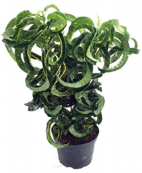 Revolution Croton 6 P*T Colorful House Plant Easy 640 x 480
